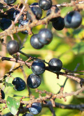 baies bleutées du prunellier ou épine noire