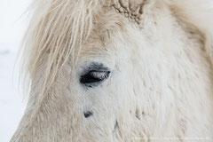 Islandpferd (Icelandic Horse)