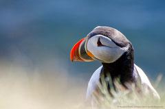Island Papageitaucher (Iceland Puffin)