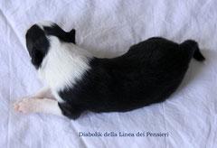 Maschio bianco e nero peso 480 gr. disponibile