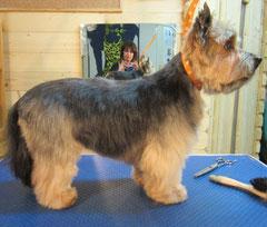 Yorkshire-Terrier Rüde nachher mit langem Beinhaar und freiem Blick
