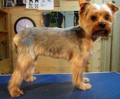 Yorkshire-Terrier nachher