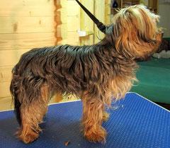 Yorkshire Terrier vorher