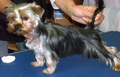 Mini-Yorkshire-Terrier nachher