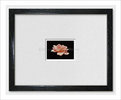 Pink Rose - Limited ACEO Print of Oil Painting