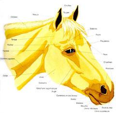 Tête du cheval