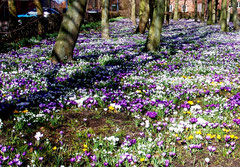 Krokusblüte im März