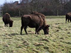 Bisons auf der Weide