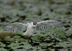 Weißbartseeschwalbe Chlidonias hybrida (c) Christa Brunner