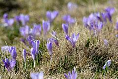 Frühlings-Krokus Crocus vernus (c) Christa Brunner