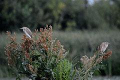 Rallenreiher Ardeola ralloides (c) Christa Brunner