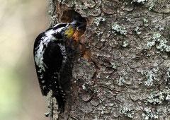 Dreizehenspecht Picoides tridactylus (c) Christa Brunner