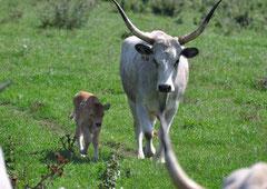 Graurinder im Büffelreservat Kapolanapuszta / Christa Brunner (c)