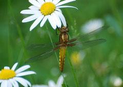 Plattbauch Libelle weibl. Libellula depressa (c) Christa Brunner