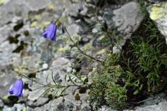 Zwerg-Glockenblume Campanula cochleariifolia (c) Christa Brunner