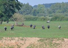 Wasserbüffel im Büffelreservat Kapolanapuszta / Christa Brunner (c)