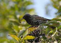 Star Sturnus vulgaris  (c) Christa Brunner