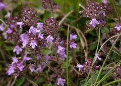 Frühblühender Thymian, Kriech-Quendel Thymus praecox ssp.praecox (c) Christa Brunner