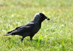 Dohle Corvus monedula (c) Christa Brunner