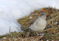 Schneesperling Montifringilla nivalis  (c) Christa Brunner