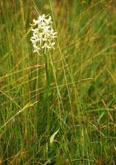Zweiblättrige Waldhyazinthe Platanthera bifolia (c) Christa Brunner