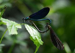 Blauflügel Pracht Libelle Calopteryx virgo (c) Christa Brunner