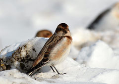 Schneeammer Plectrophenax nivalis (c) Christa Brunner