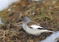 Schneesperling Montifringilla nivalis  (c) Christa Brunner