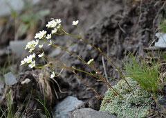Trauben-Steinbrech Saxifraga paniculata (c) Christa Brunner