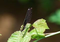Blauflügel Pracht Libelle männl. Calopteryx virgo (c) Christa Brunner