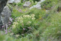 Alpen-Kratzdistel Cirsium spinosissimum (c) Christa Brunner