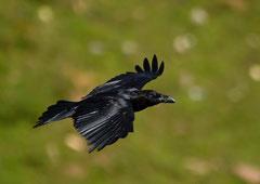 Kolkrabe Corvus corax (c) Christa Brunner
