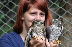 Fene'kpuszta Hospital für verletzte Vögel (Sperber) Christa Brunner (c)