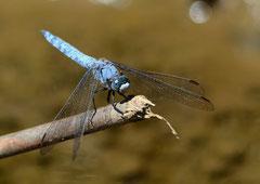Südlicher Blaupfeil männl. Orthetrum brunnneum (c) Christa Brunner