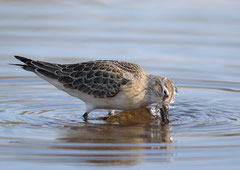 Sichelstrandläufer Calidris ferruginea (c) Christa Brunner