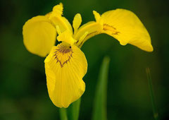 Sumpf-Schwertlilie oder gelbe Schwertlilie  (Iris pseudacorus) (c) Christa Brunner