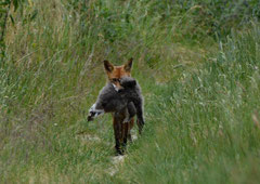 """Fuchs """"du hast die Gans gestohlen"""" (c) Christa Brunner"""