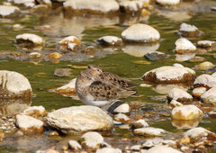 Temminckstrandläufer Calidris temminckii (c) Christa Brunner