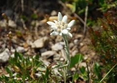 Alpen-Edelweiß Leontopodium nivale (c) Christa Brunner