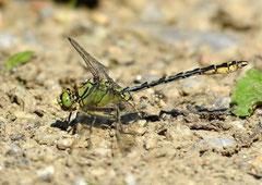 Grüne Flussjungfer o. Grüne Keiljungfer Ophiogomphus cecilia  (c) Christa Brunner