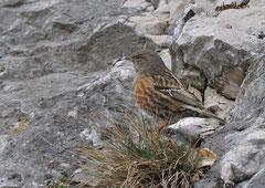 Alpenbraunelle Prunella collaris  (c) Christa Brunner