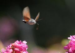 Taubenschwänzchen Macroglossum stellatarum (c) Christa Brunner