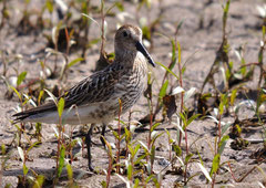 Alpenstrandläufer Calidris alpina (c) Christa Brunner