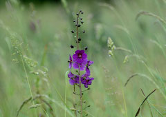 Phönizische Königskerze, violette Königskerze oder Purpur-Königskerze  Verbascum phoeniceum (c) Christa Brunner
