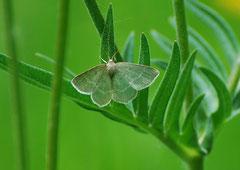 Grünes Blatt Geometra papilionaria (c) Christa Brunner