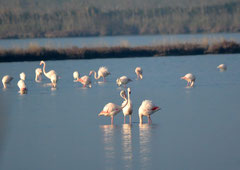 Rosa Flamingo Phoenicopterus roseus (c) Christa Brunner