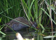 Wasserralle Rallus aquaticus (c) Christa Brunner