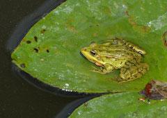 """Teichfrosch Pelophylax """"esculentus (c) Christa Brunner"""