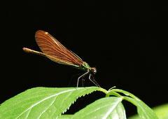 Blauflügel Pracht Libelle weibl.Calopteryx virgo (c) Christa Brunner