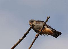 Rotfußfalke Falco vespertinus (c) Christa Brunner